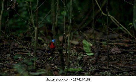 wilson's bird of paradise competing to attract a female by dancing in the gloom of the forest floor
