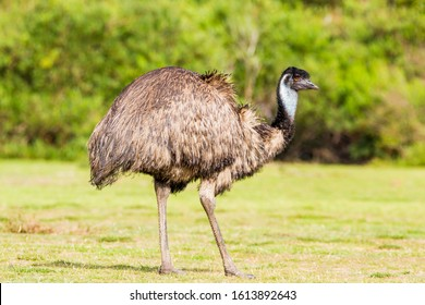 Wilsons Promontory National Park, Australia, Victoria- MARCH 2016: Emu (Dromaius novaehollandiae) grazing in the Australian bush. Emu is the second-largest living bird. Today endangered by fires.