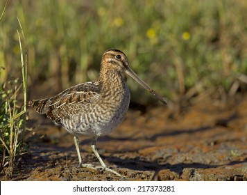 A Wilson's snipe emerges from the grass at the edge of a muddy shoreline.