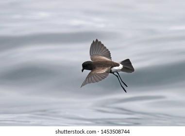 Wilson's Stormvogeltje, Wilson's Storm Petrel, Oceanites oceanic