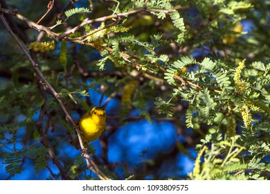 Wilson's Warbler in a flowering Honey Locust tree during spring migration in Cottonwood, Arizona