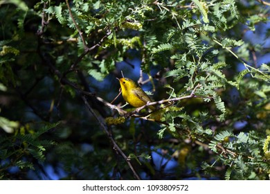 Wilson's Warbler in a Honey Locust tree during spring migration in Cottonwood, Arizona