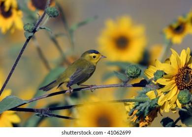 Wilson's Warbler, male in a field of sunflowers