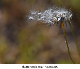 Wilted dandelion seed head