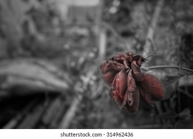 wilted flower red on black and white background