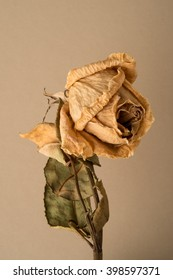 Wilted flower or rose on stem with leaves on a beige background.