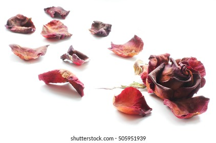 Wilted red rose on white background. Dried rose petals on white background. Flowers. Love.