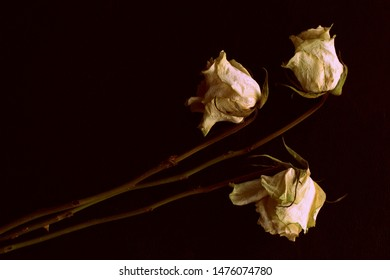 Wilted white roses on a dark background close up in retro style