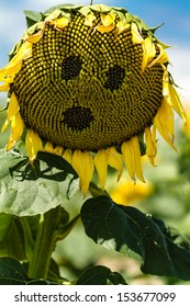 Wilting giant yellow sunflower with face on flower