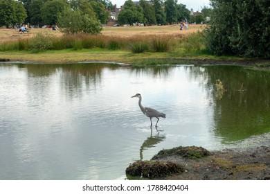 WIMBLEDON, LONDON/UK - AUGUST 1 : Heron walking in the lake on Wimbledon Common in London on August 1, 2020. Unidentified people