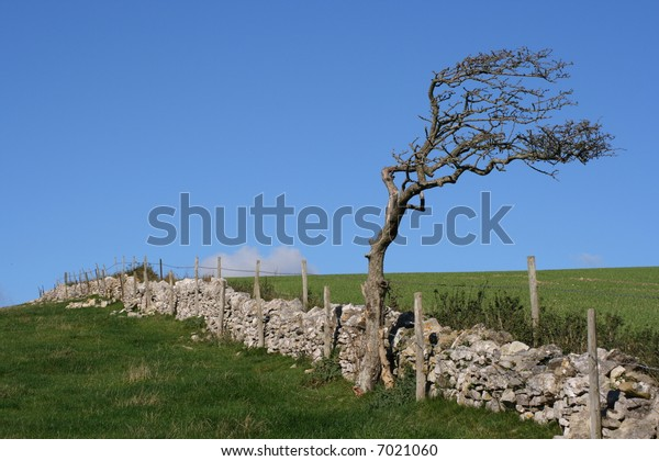 Wind battered tree and a stone wall on farmland.