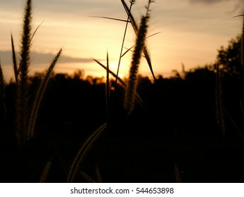 the wind blew the  feather pennisetum ,close up silhouette tropical misson grass .