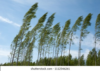 Wind blowing birch trees