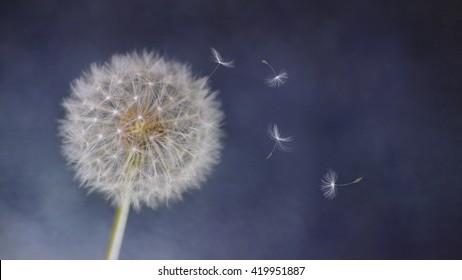 Wind Blowing fluffy Dandelion seeds
