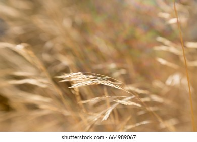 Wind blowing golden reed grass
