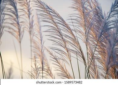 wind blowing reeds flower against sunset light