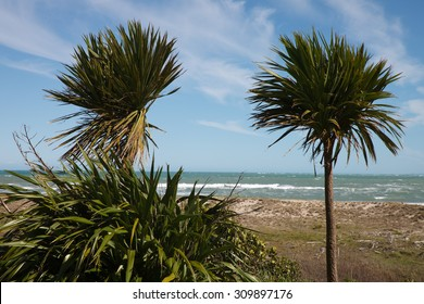 wind blown cabbage trees or ti with flax bush and a surf beach in the background