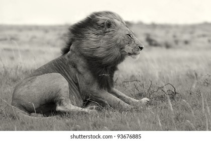 Wind blown male lion in black and white