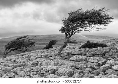 Wind blown tree, Twistleton Scar in the Yorkshire Dales