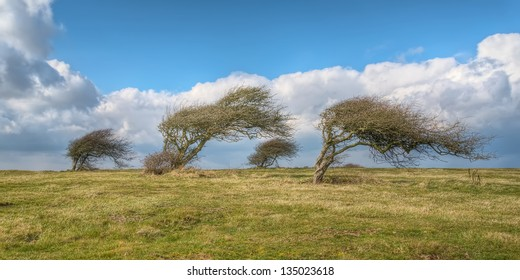Wind blown trees in England