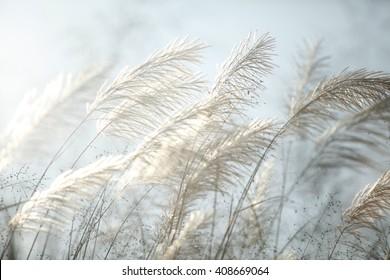 Wind blown wild grass,selective focus