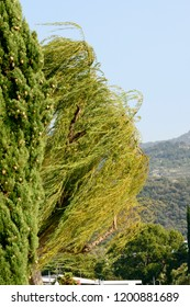 wind bows trees at touristic village on Garda lake where windsurfers rally, shot in bright fall light at Torbole, Italy