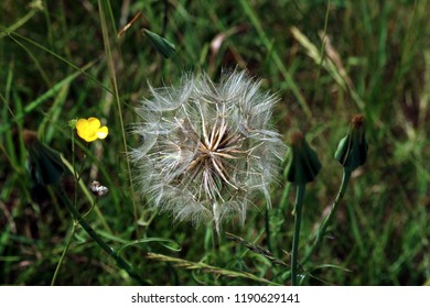 Wind distributed wild meadow plant seed head