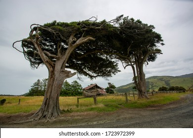 Wind sculpted trees, macrocarpa trees, Slope Point, Catlins, southern most point of South Island, New Zealand