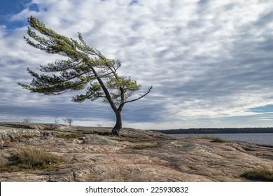 Wind Swept Pine