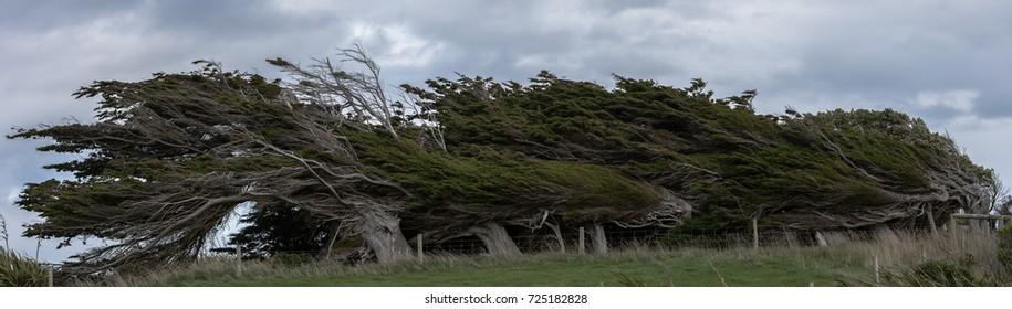 Wind swept trees on the coast of New Zealand.