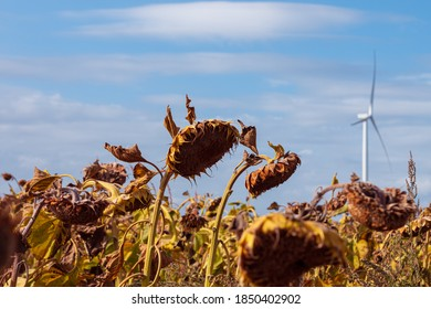 Wind turbines energy converters on autumn sunflowers field on the sunset. Local eco friendly wind farm. Agriculture crops harvest, farming harvesting background. Green ecological electricity wallpaper