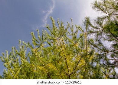 Wind in the White  Pines with Sky Overhead