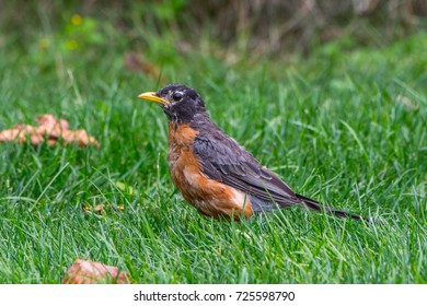 A windblown robin in the grass in Canada