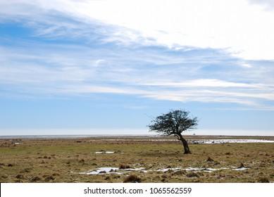 Windblown tree by the coast of the swedish island Oland in the Baltic Sea