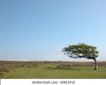 Windblown tree on Exmoor