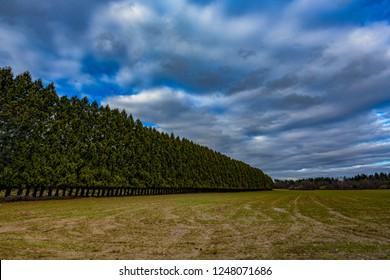 A windbreak or shelterbelt on a field in Plainsboro, New Jersey.