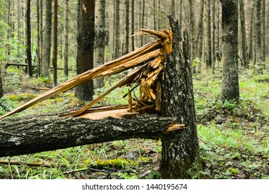 Windbreak, the tumbled-down and cut trees, stubs in the forest. Summer morning wood.