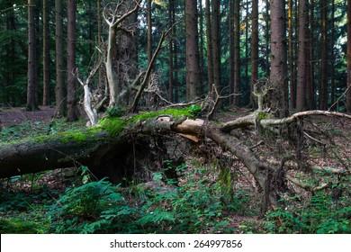 Windbruch im Fichtenwald