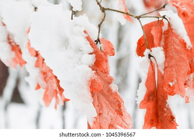 Winder Maple Leaves With White Snow Covered