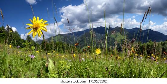 Windflowers on meadow of Carpathian mountains. Alpine nature panorama