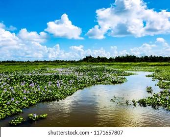 Winding Bayou Through Blooming Water Hyacinths in Louisiana