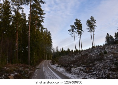 Winding dirt road through a coniferous woodland