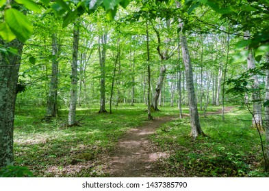 Winding footpath in a bright green forest with hornbeam trees in the nature reserve Halltorps hage on the island Oland in Sweden