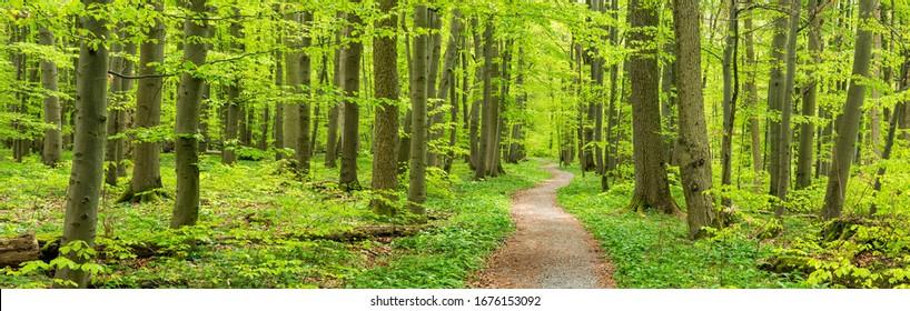 Windwanderweg durch den Buchenwald im Frühling, üppige grüne Blätter, Hainich Nationalpark, Deutschland