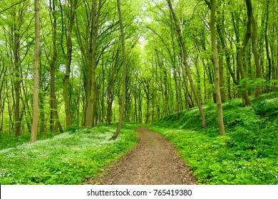 Winding Footpath through Green Forest of Beech Trees in Spring