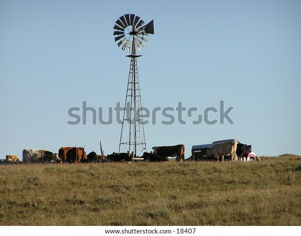 Windmill and cattle.