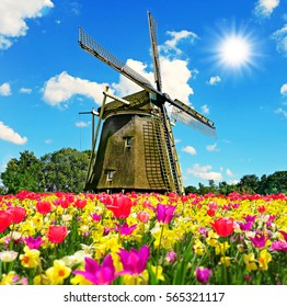 Windmill and field with tulips in spring