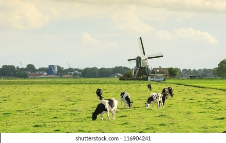 Windmill with Miller's cottage and black and white cows in Dutch polder