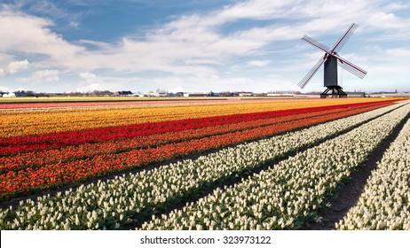 Windmill on field of tulips in Netherlands. Header for website