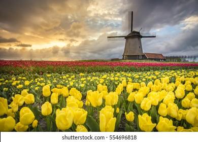 Windmill and tulips fields, Alkmaar polder, Netherlands